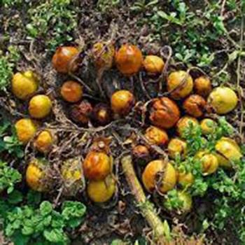 Frutos de la mandrágora